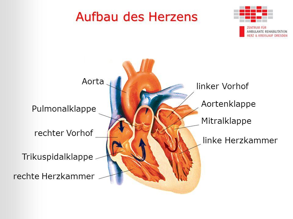 Aufbau des Herzens Aorta linker Vorhof Aortenklappe Pulmonalklappe