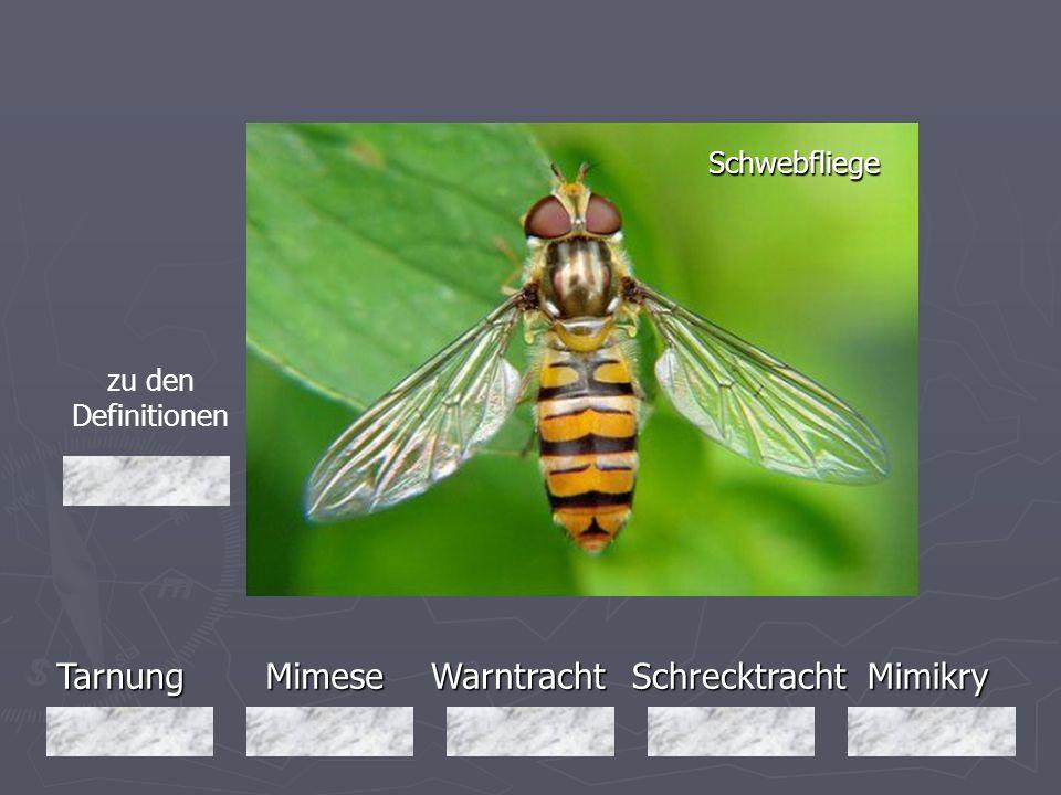 Tarnung Mimese Warntracht Schrecktracht Mimikry Schwebfliege
