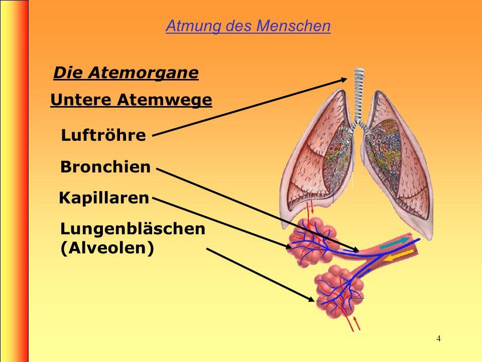 Atmung des Menschen Die Atemorgane. Untere Atemwege.