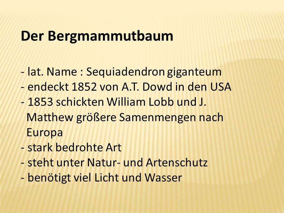 Der Bergmammutbaum lat. Name : Sequiadendron giganteum