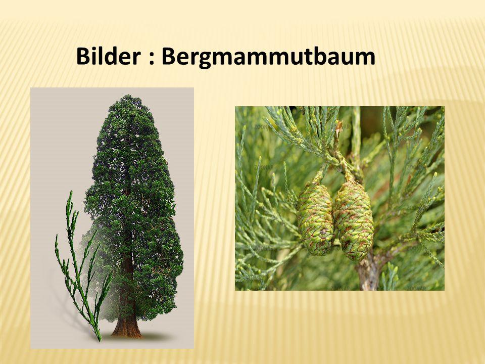 Bilder : Bergmammutbaum