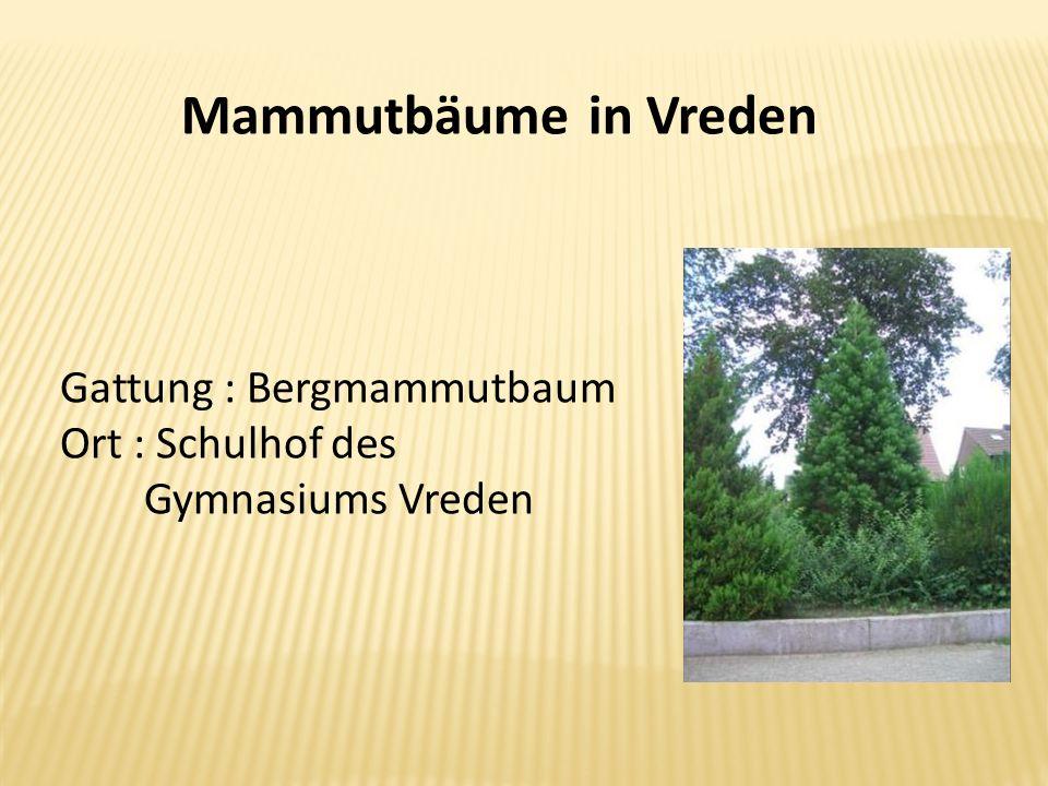 Mammutbäume in Vreden Gattung : Bergmammutbaum Ort : Schulhof des