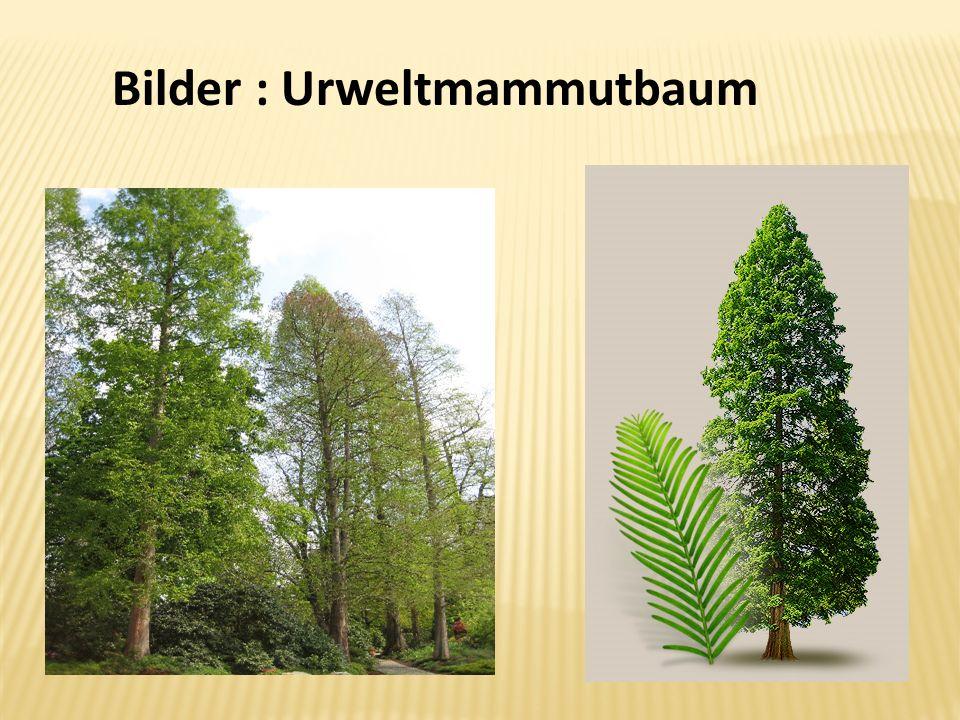 Bilder : Urweltmammutbaum