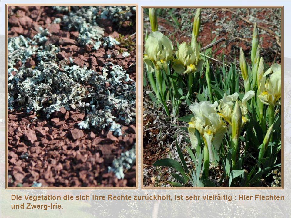 Die Vegetation die sich ihre Rechte zurückholt, ist sehr vielfältig : Hier Flechten und Zwerg-Iris.