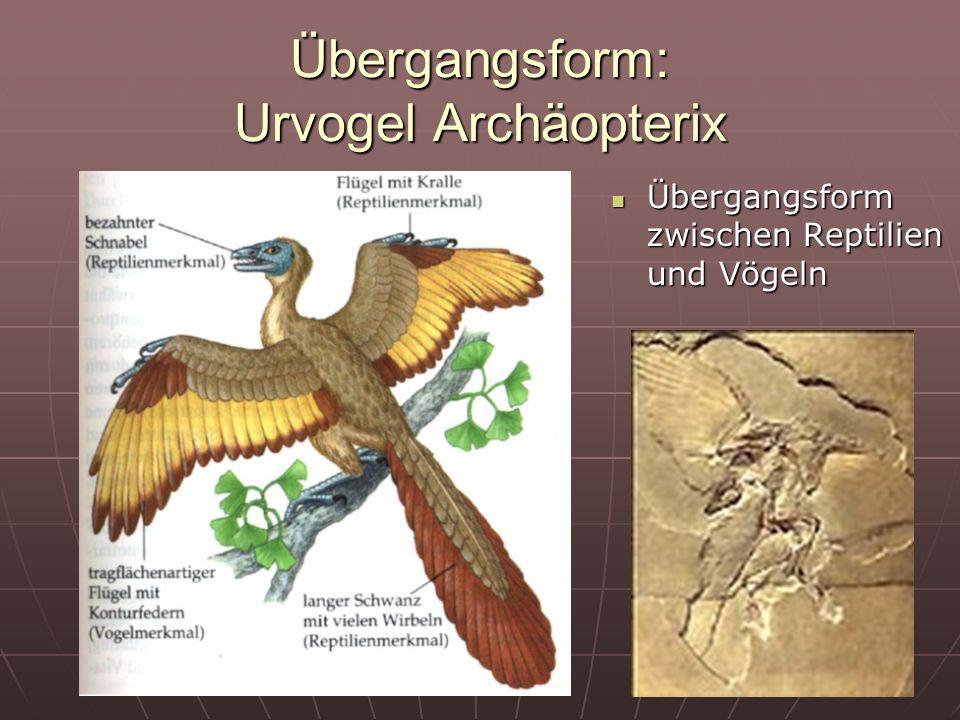 Übergangsform: Urvogel Archäopterix