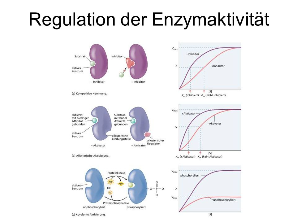 Regulation der Enzymaktivität