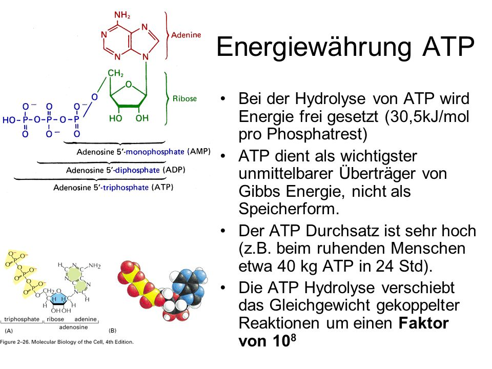 Energiewährung ATP Bei der Hydrolyse von ATP wird Energie frei gesetzt (30,5kJ/mol pro Phosphatrest)