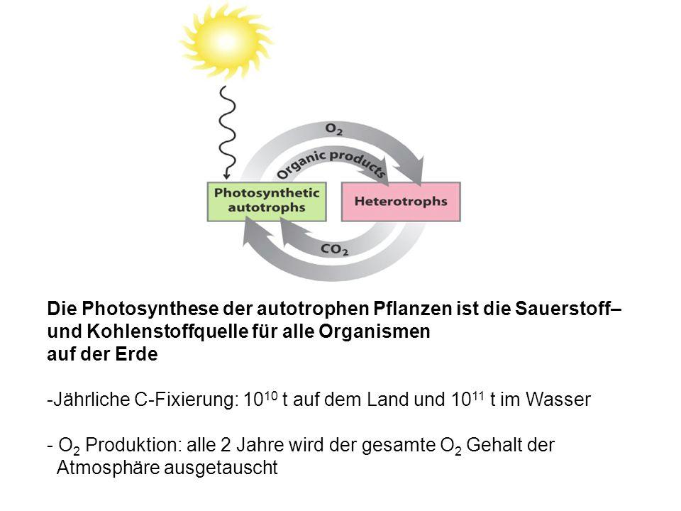Die Photosynthese der autotrophen Pflanzen ist die Sauerstoff– und Kohlenstoffquelle für alle Organismen