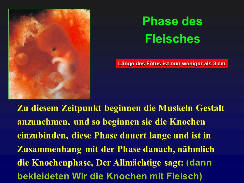 Phase des Fleisches Länge des Fötus ist nun weniger als 3 cm.