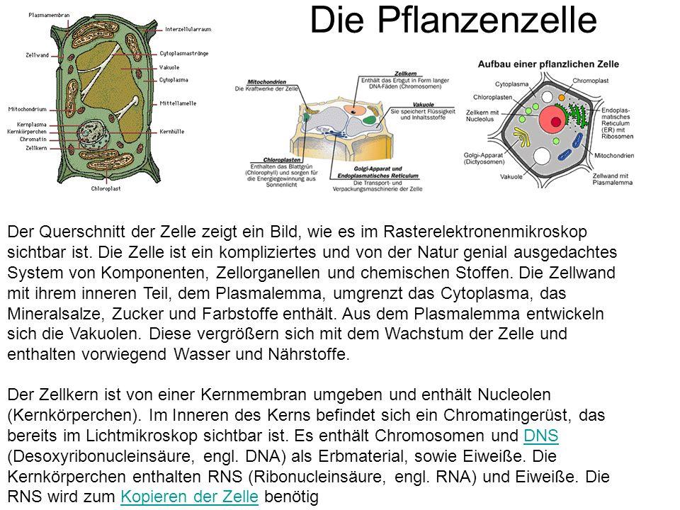 Die Pflanzenzelle