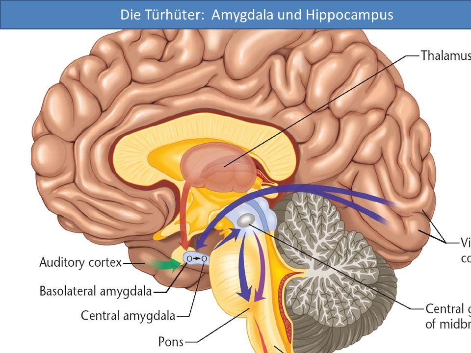 Die Türhüter: Amygdala und Hippocampus