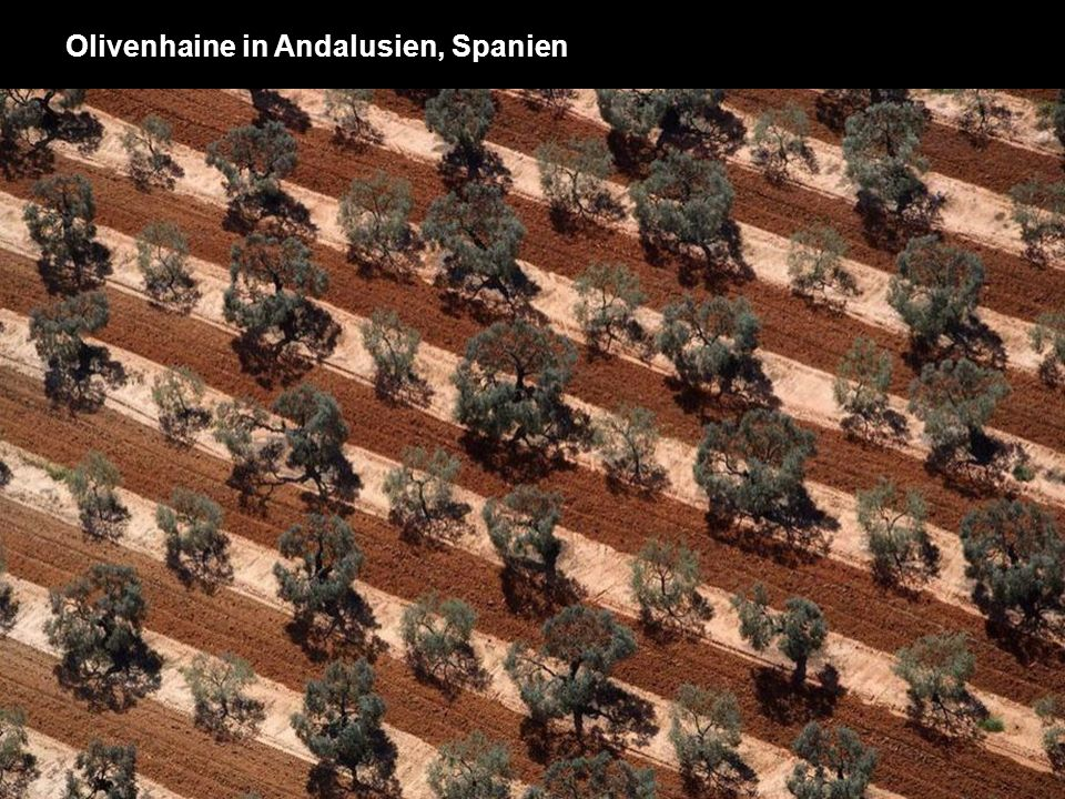 Olivenhaine in Andalusien, Spanien
