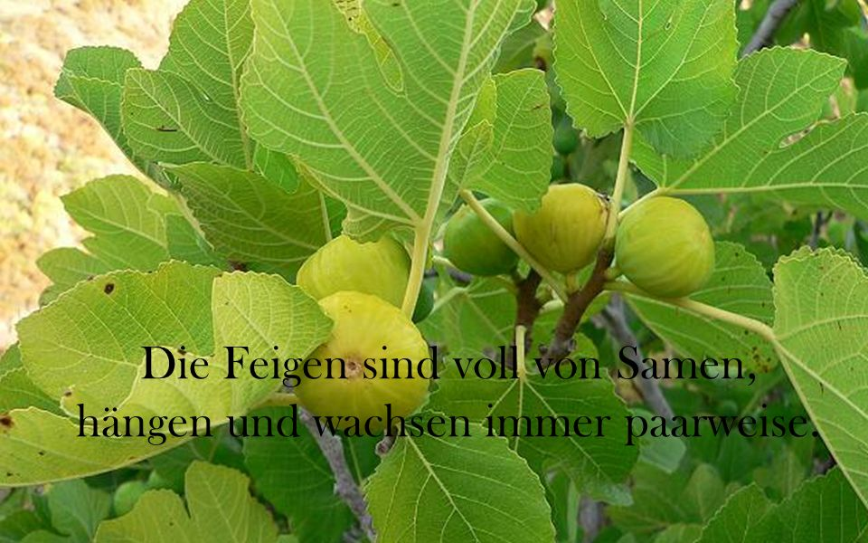 Die Feigen sind voll von Samen, hängen und wachsen immer paarweise.