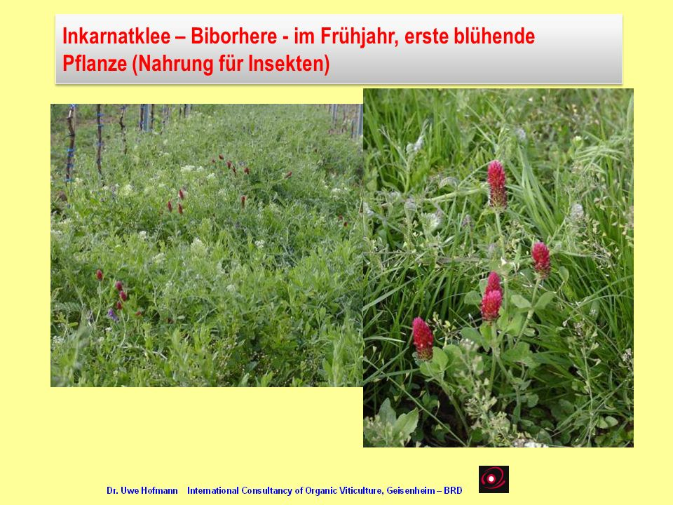 Inkarnatklee – Biborhere - im Frühjahr, erste blühende