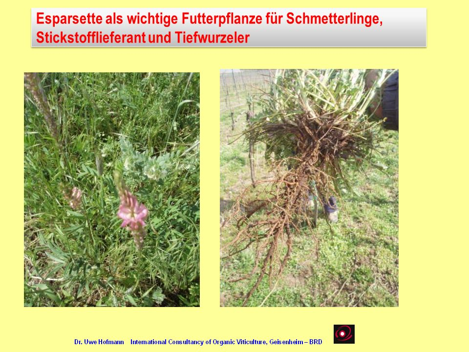 Esparsette als wichtige Futterpflanze für Schmetterlinge,