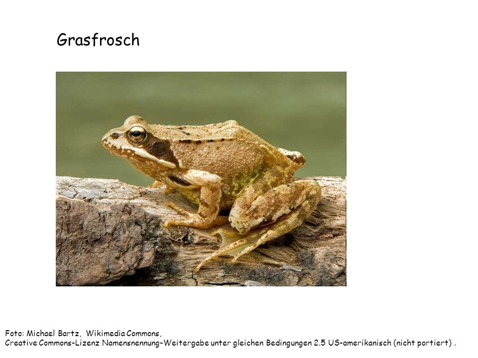 Grasfrosch Foto: Michael Bartz, Wikimedia Commons,