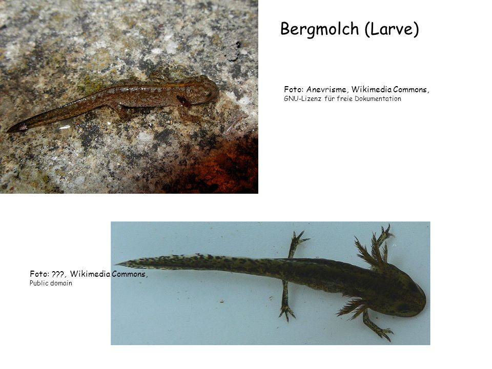 Bergmolch (Larve) Foto: Anevrisme, Wikimedia Commons,