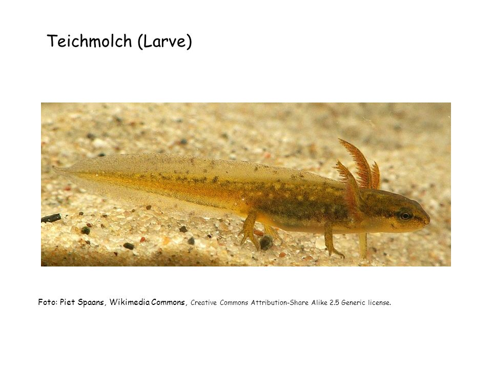 Teichmolch (Larve) Foto: Piet Spaans, Wikimedia Commons, Creative Commons Attribution-Share Alike 2.5 Generic license.