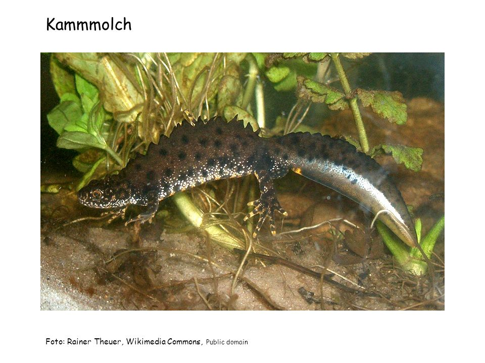 Kammmolch Foto: Rainer Theuer, Wikimedia Commons, Public domain
