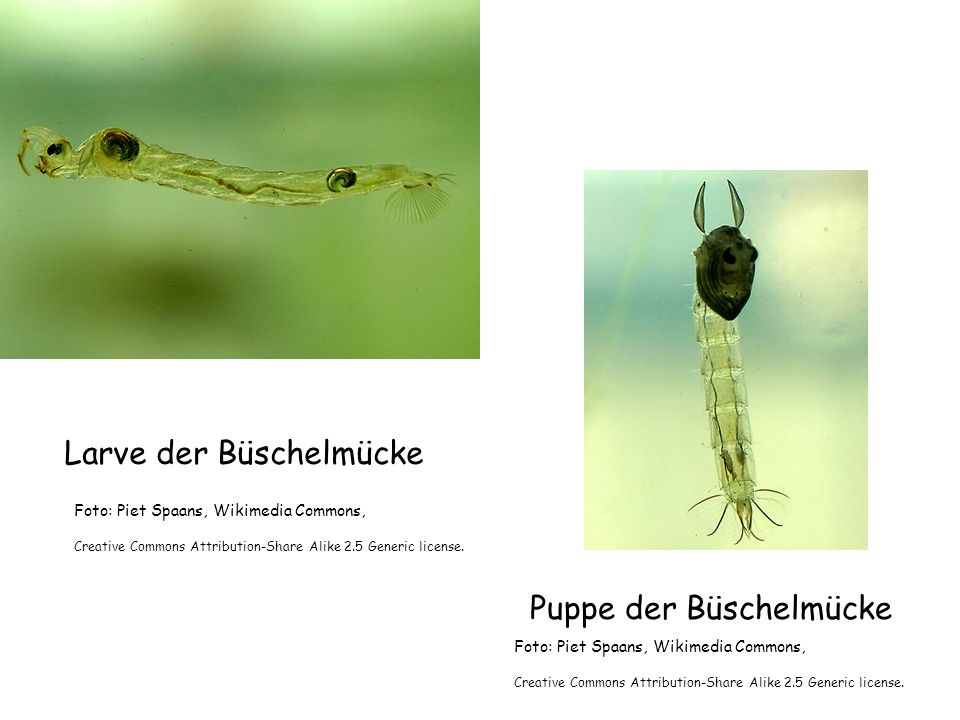 Larve der Büschelmücke