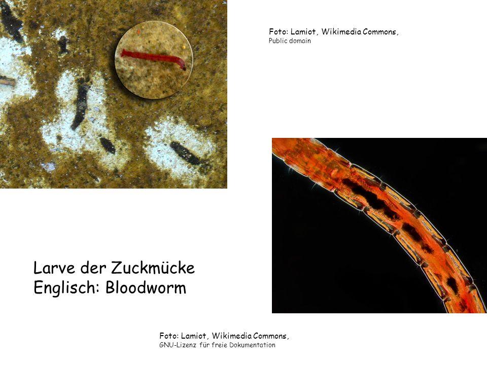 Larve der Zuckmücke Englisch: Bloodworm