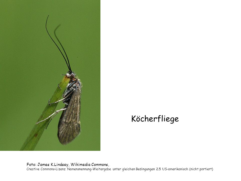 Köcherfliege Foto: James K.Lindsey, Wikimedia Commons,