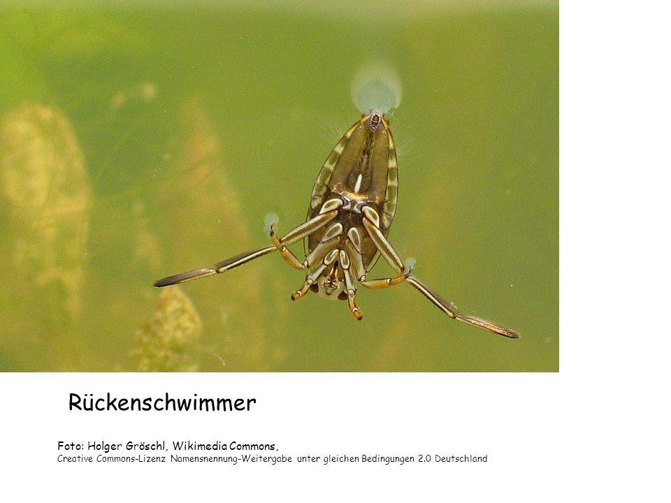 Rückenschwimmer Foto: Holger Gröschl, Wikimedia Commons,