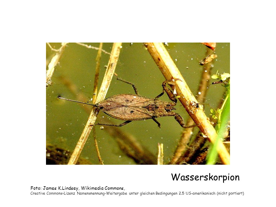 Wasserskorpion Foto: James K.Lindsey, Wikimedia Commons,
