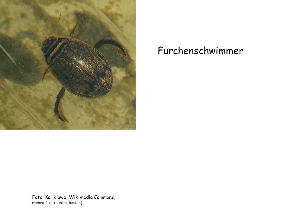 Furchenschwimmer Foto: Kai Kluwe, Wikimedia Commons,