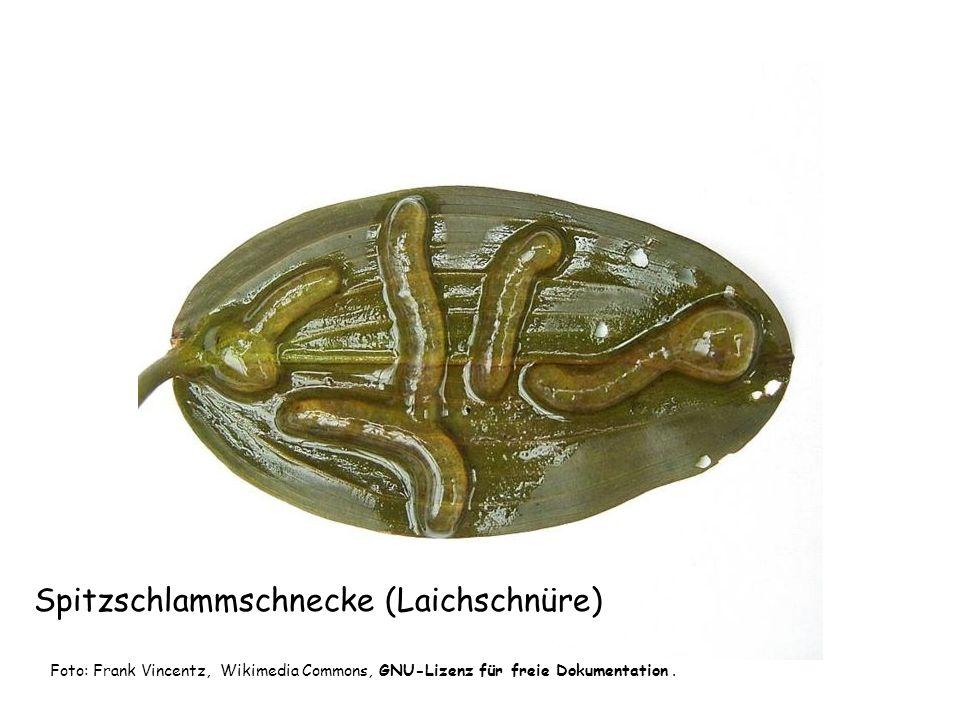 Spitzschlammschnecke (Laichschnüre)