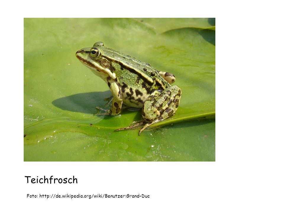 Teichfrosch Foto: http://de.wikipedia.org/wiki/Benutzer:Grand-Duc