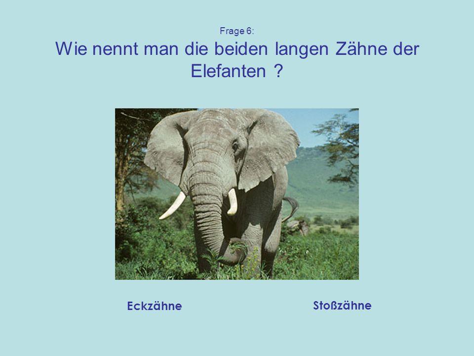 Frage 6: Wie nennt man die beiden langen Zähne der Elefanten