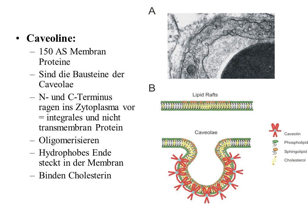 Caveoline: 150 AS Membran Proteine Sind die Bausteine der Caveolae