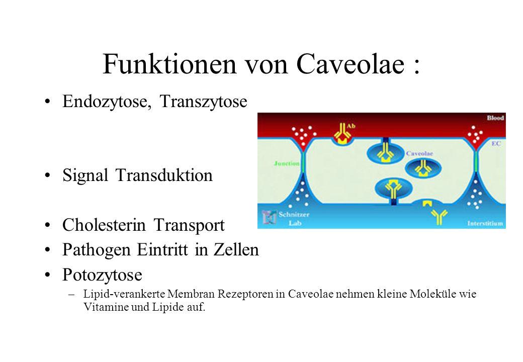 Funktionen von Caveolae :