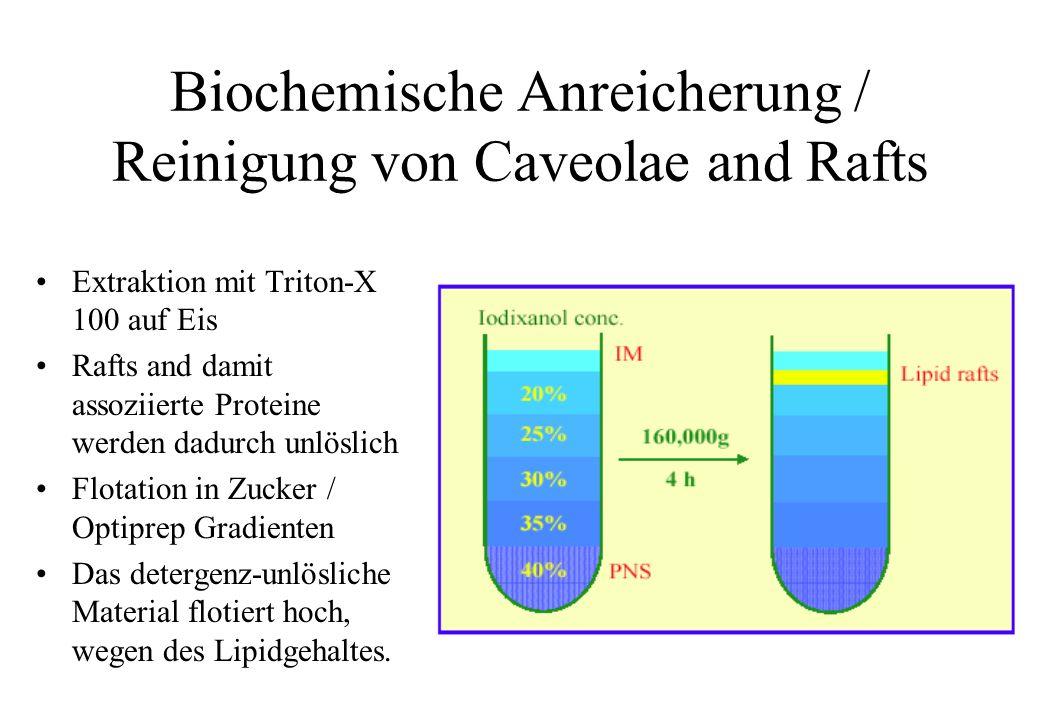 Biochemische Anreicherung / Reinigung von Caveolae and Rafts