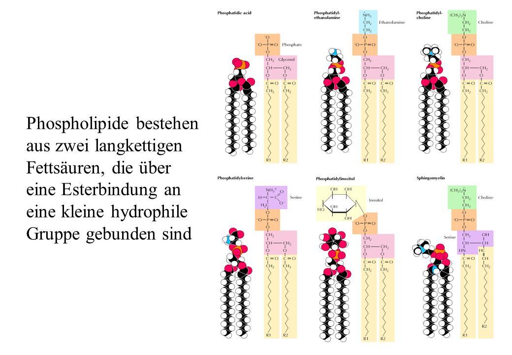 Phospholipide bestehen aus zwei langkettigen Fettsäuren, die über eine Esterbindung an eine kleine hydrophile Gruppe gebunden sind