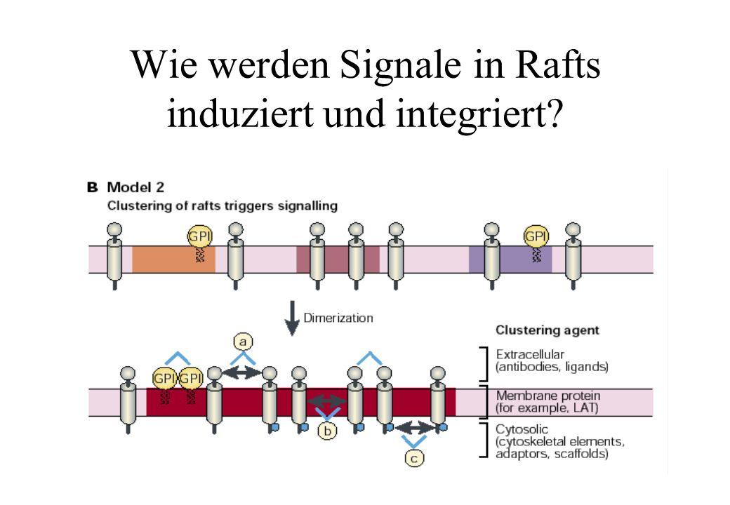 Wie werden Signale in Rafts induziert und integriert
