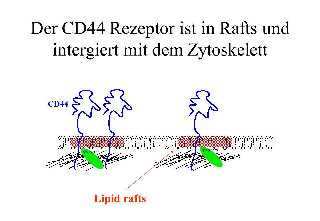 Der CD44 Rezeptor ist in Rafts und intergiert mit dem Zytoskelett