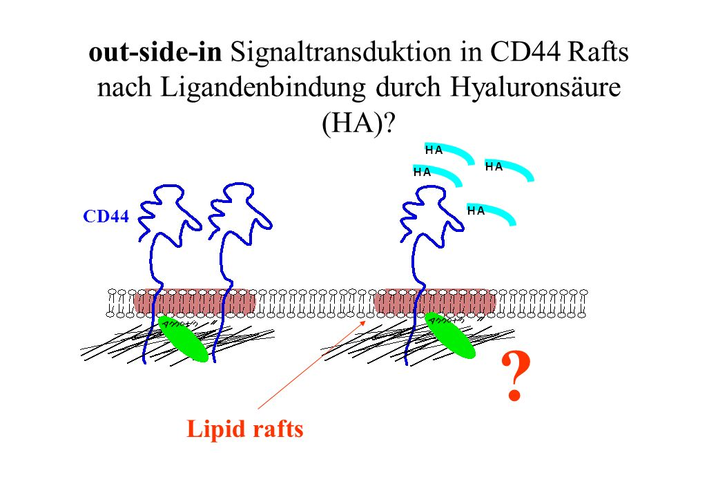 out-side-in Signaltransduktion in CD44 Rafts nach Ligandenbindung durch Hyaluronsäure (HA)