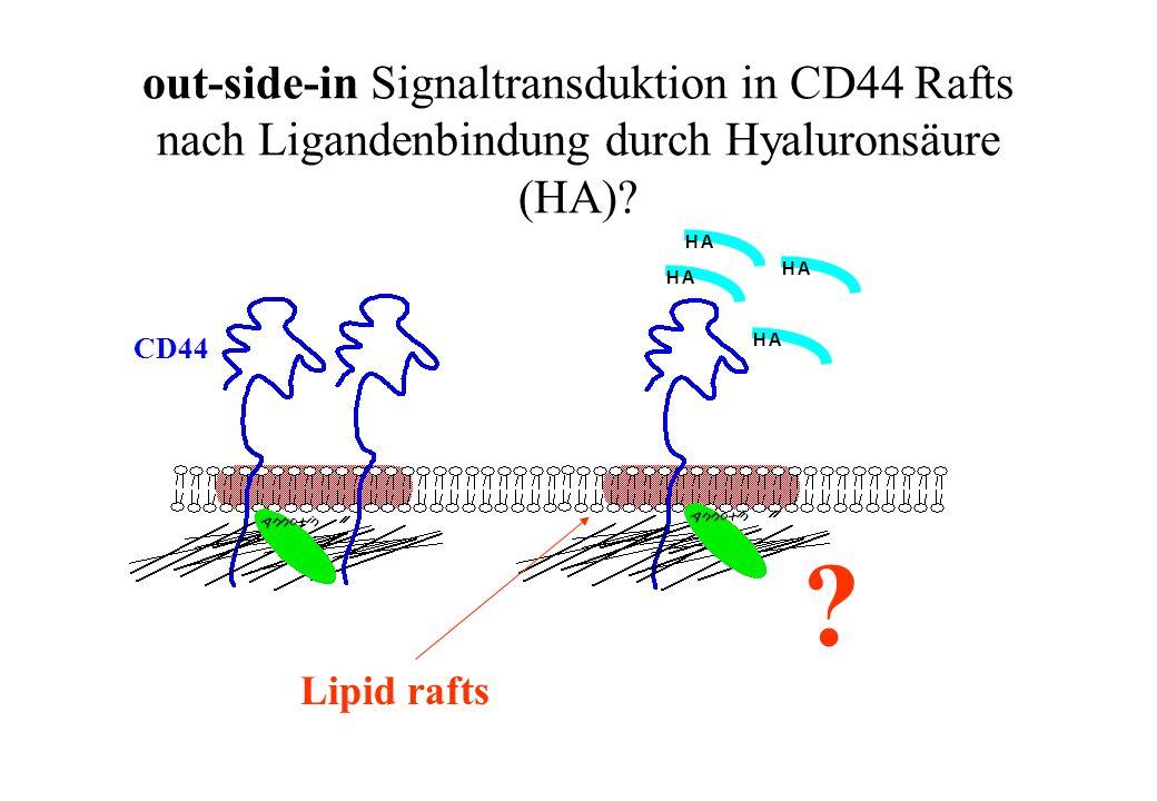 out-side-in Signaltransduktion in CD44 Rafts nach Ligandenbindung durch Hyaluronsäure (HA)