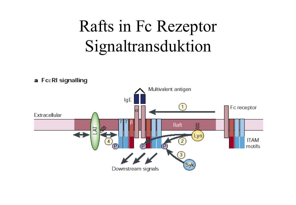 Rafts in Fc Rezeptor Signaltransduktion