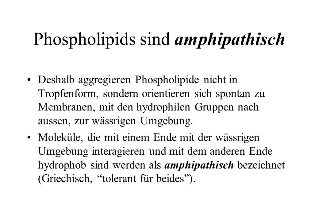 Phospholipids sind amphipathisch
