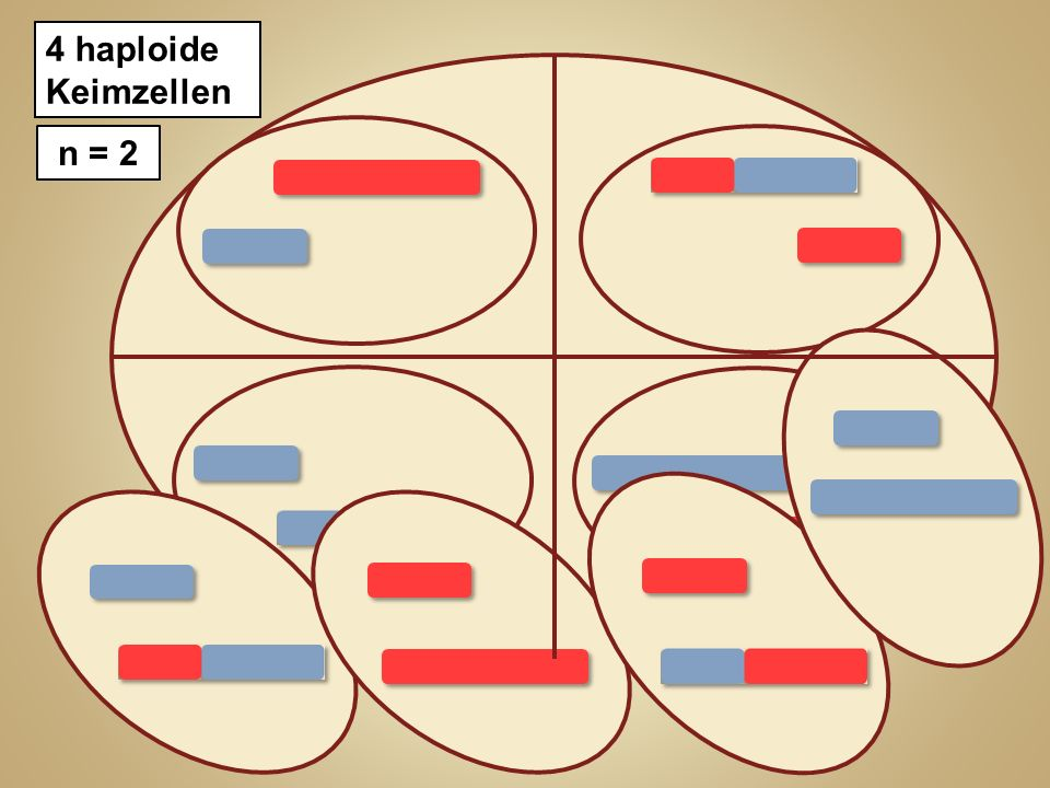 2 haploide Zellen 4 haploide Keimzellen n = 2