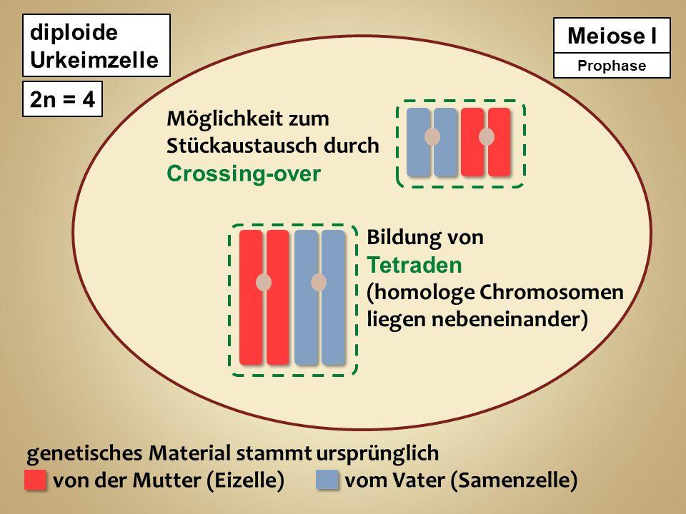(homologe Chromosomen liegen nebeneinander)