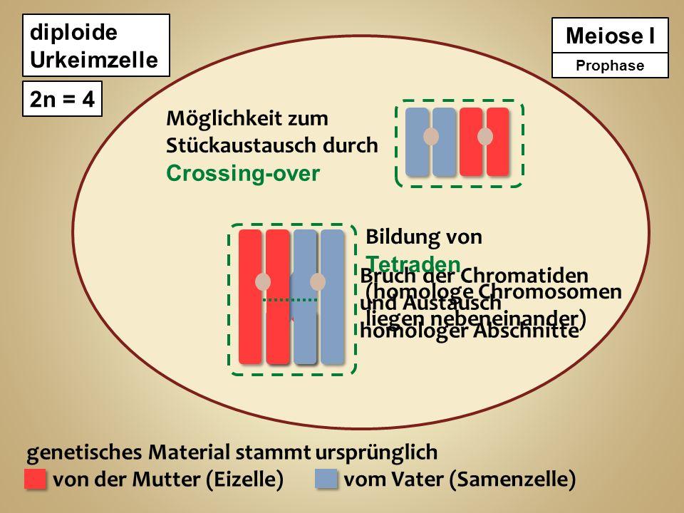 (homologe Chromosomen liegen nebeneinander) Bruch der Chromatiden