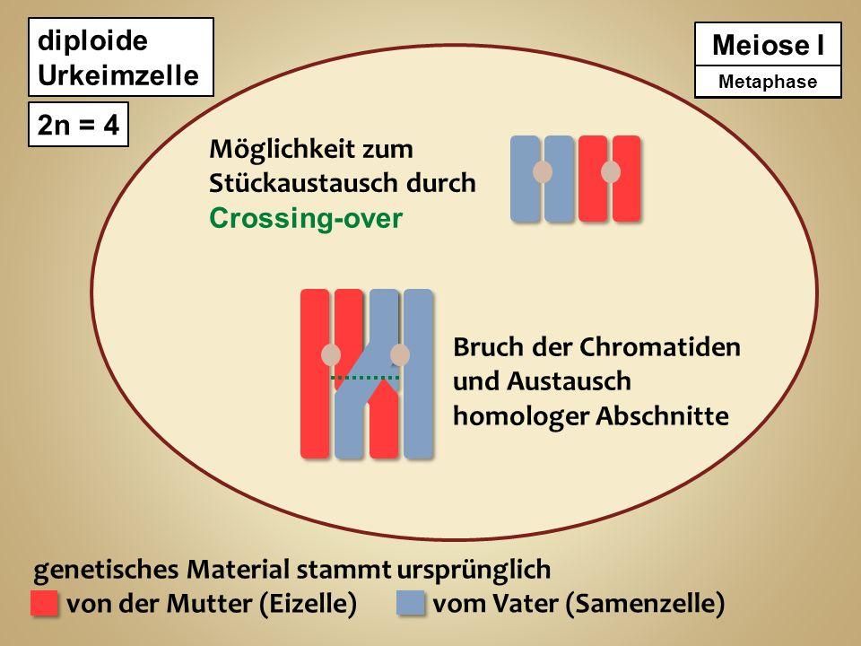genetisches Material stammt ursprünglich von der Mutter (Eizelle)