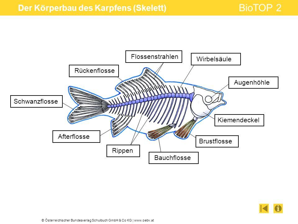 Der Körperbau des Karpfens (Skelett)