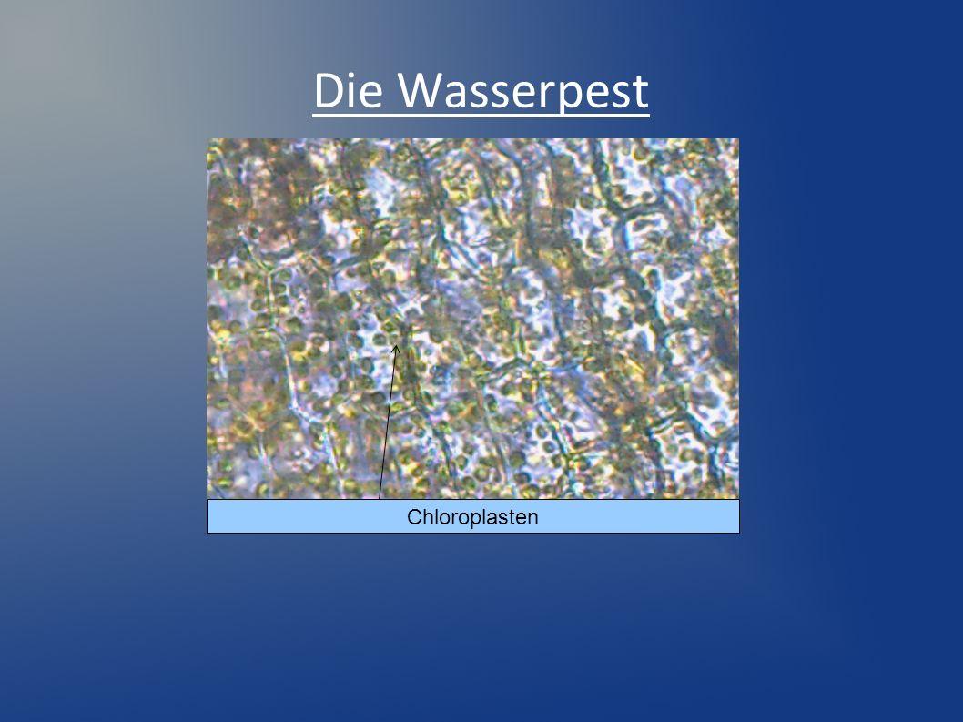 Die Wasserpest Chloroplasten
