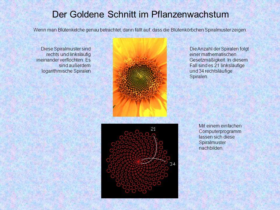 Der Goldene Schnitt im Pflanzenwachstum