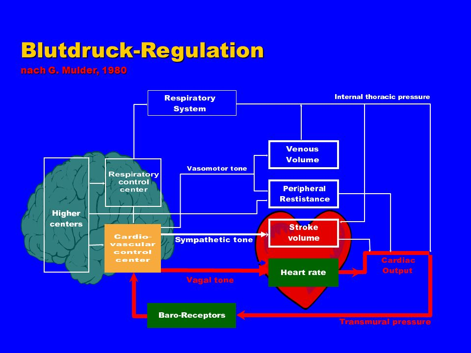 Blutdruck-Regulation